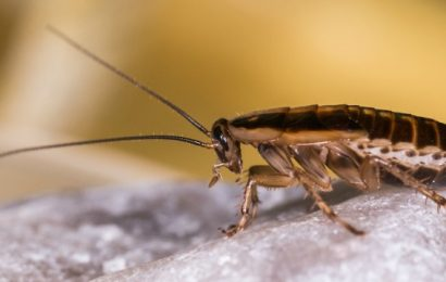 A Brief Introduction To The German Roaches And Their Social Nature